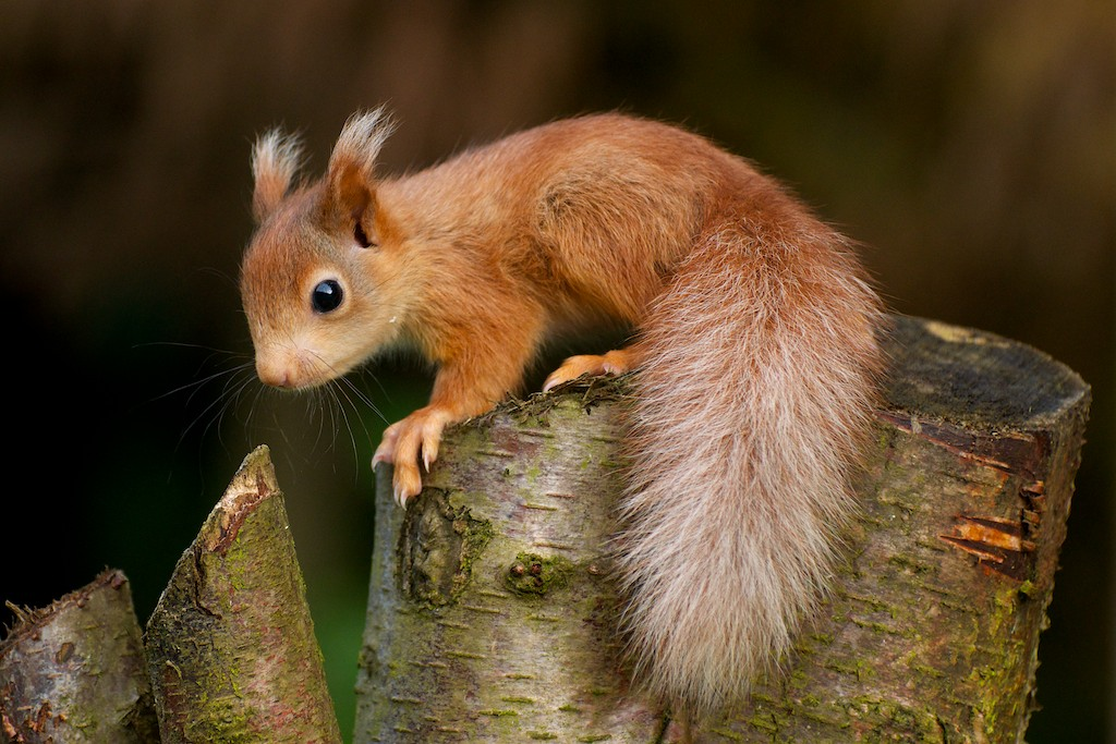 Donate To Charity >> Squirrel Organisations - British Red Squirrel