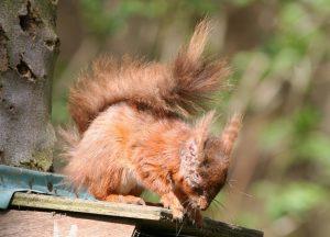 Squirrel Pox No 1