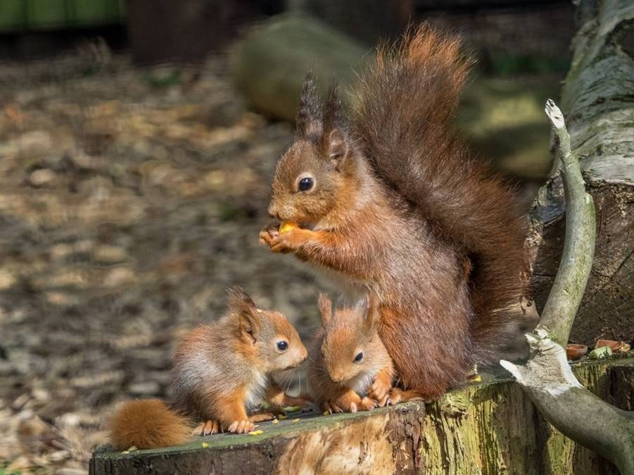 Welcome To British Red Squirrel Conserving Our Native Red
