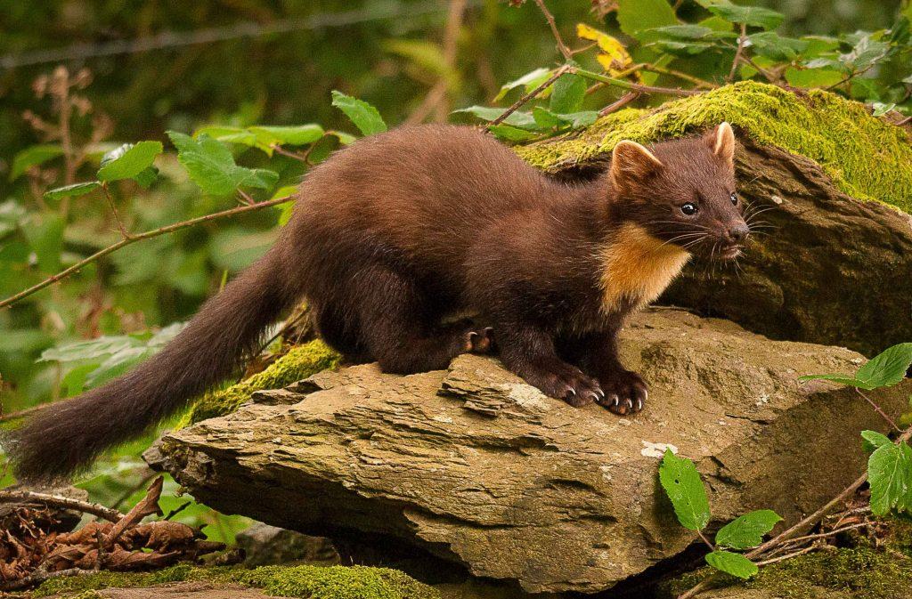 Pine Marten - British Red Squirrel