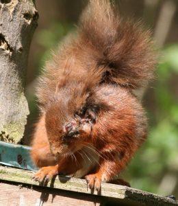 Squirrel pox No 2